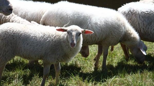Grazende-schapen