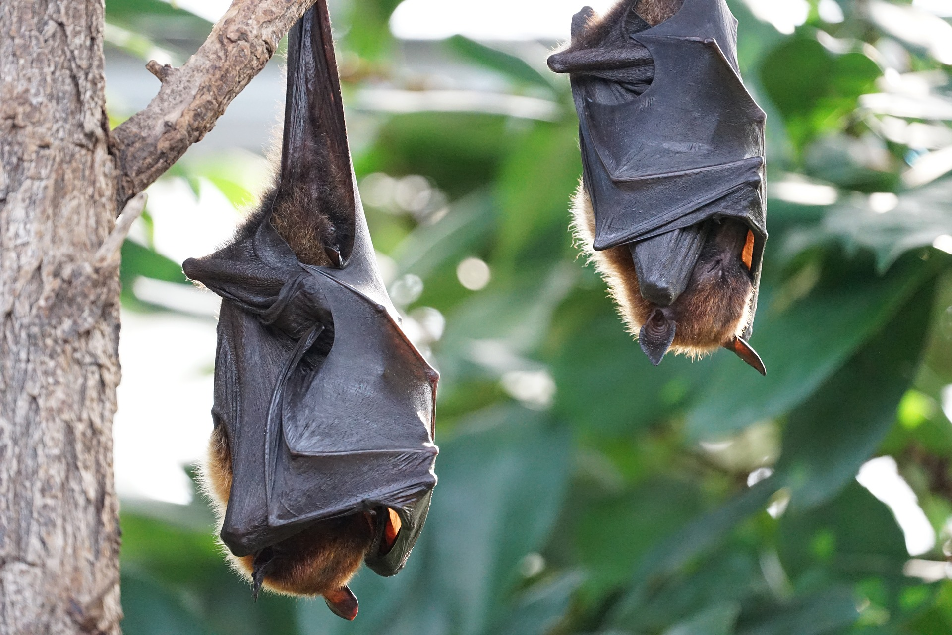 flying-foxes-2237209_1920
